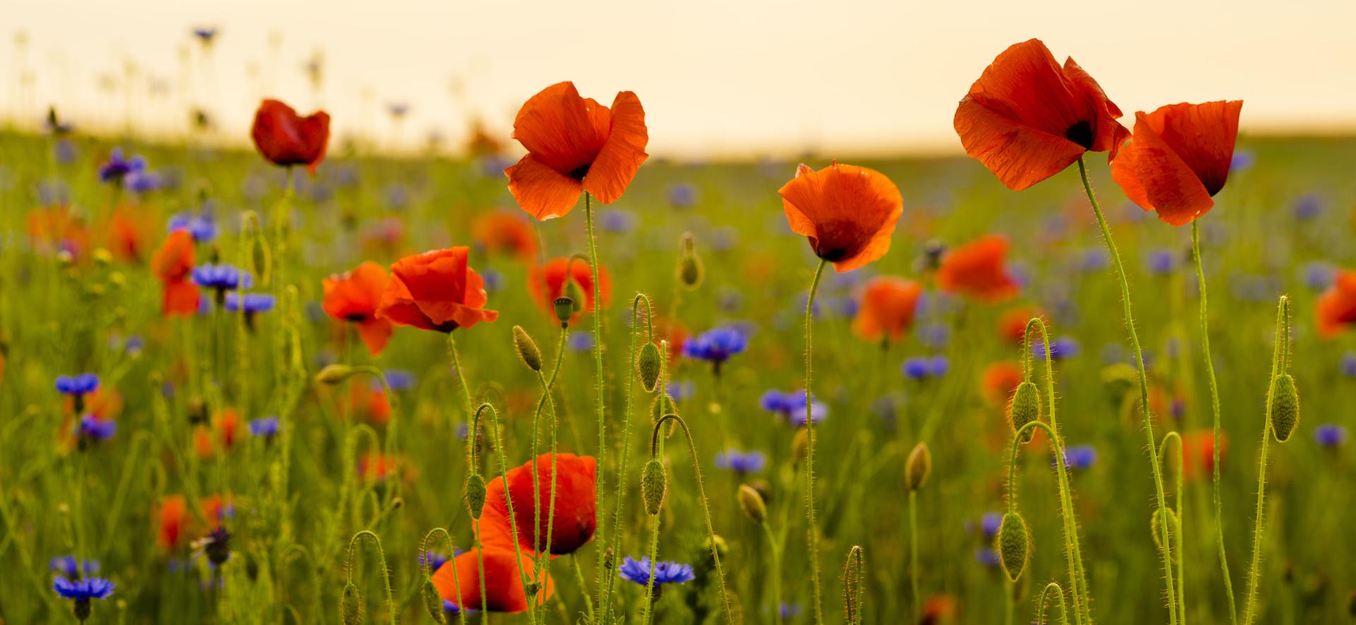 Fototapeta pole květiny, máky, chrpy, zeleň