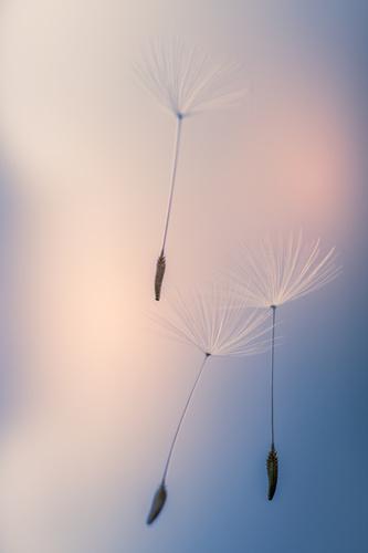 Fototapeta Pampelišky, semena pampelišky zvednuté větrem, makro snímek